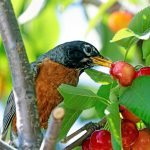 Bird eating tree fruit