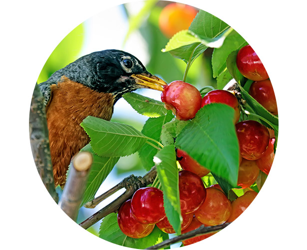 A robin eating fruit right off the tree.