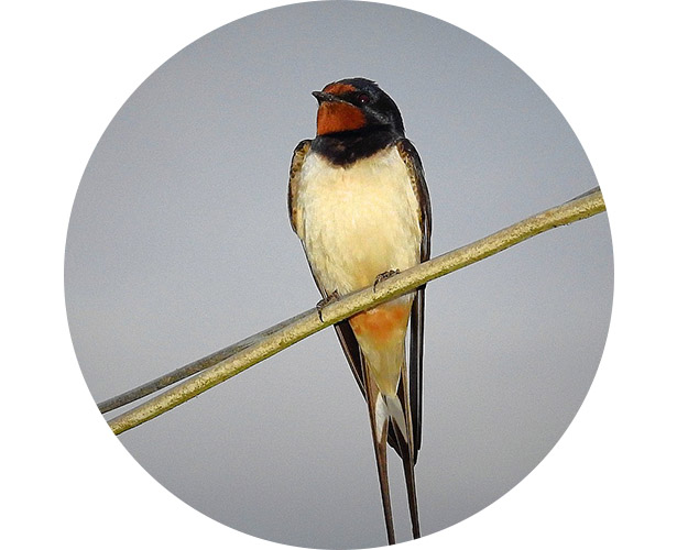 A swallow perched on a wire.