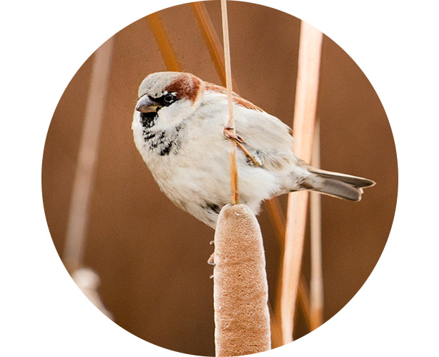 A sparrow perched in a field