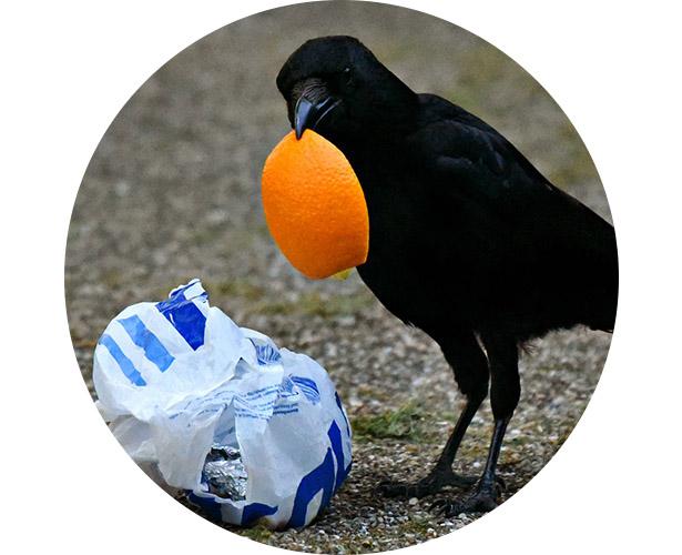 A bird digging through trash with an orange peel hanging out of its beak.