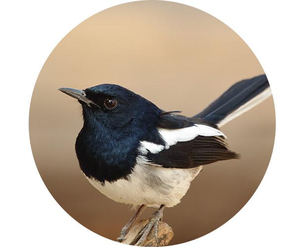 A closeup of a magpie in a field.