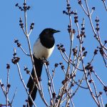 A magpie perched at the top of a tree.