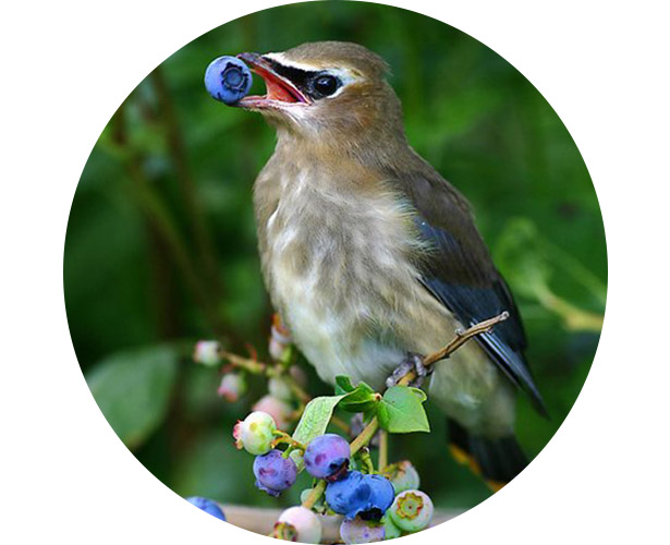 A bird eating berries right off of the plant.
