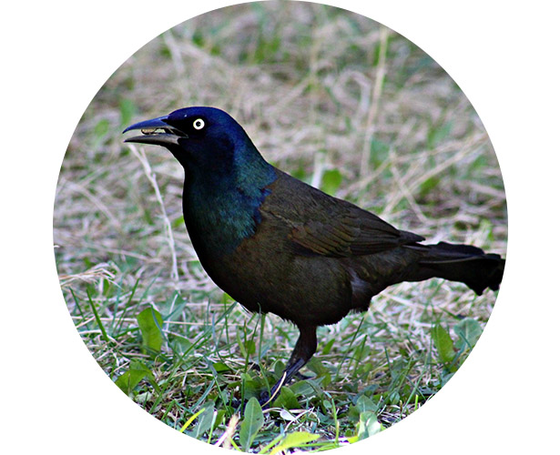 A grackle with a nut in it's mouth.