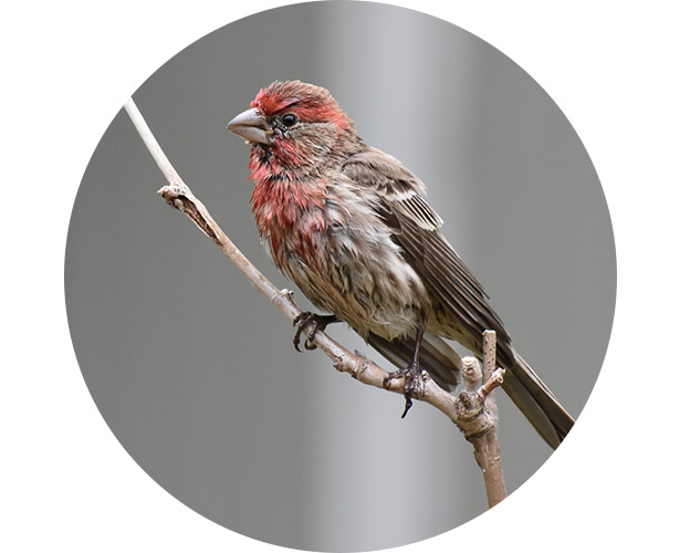 A finch perched on a stick.