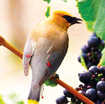 Link to cedar waxwing page