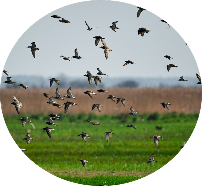 flock of birds flying over field inset image