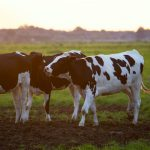 Livestock and Dairy