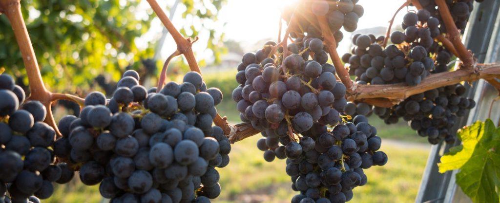 vineyard hero image