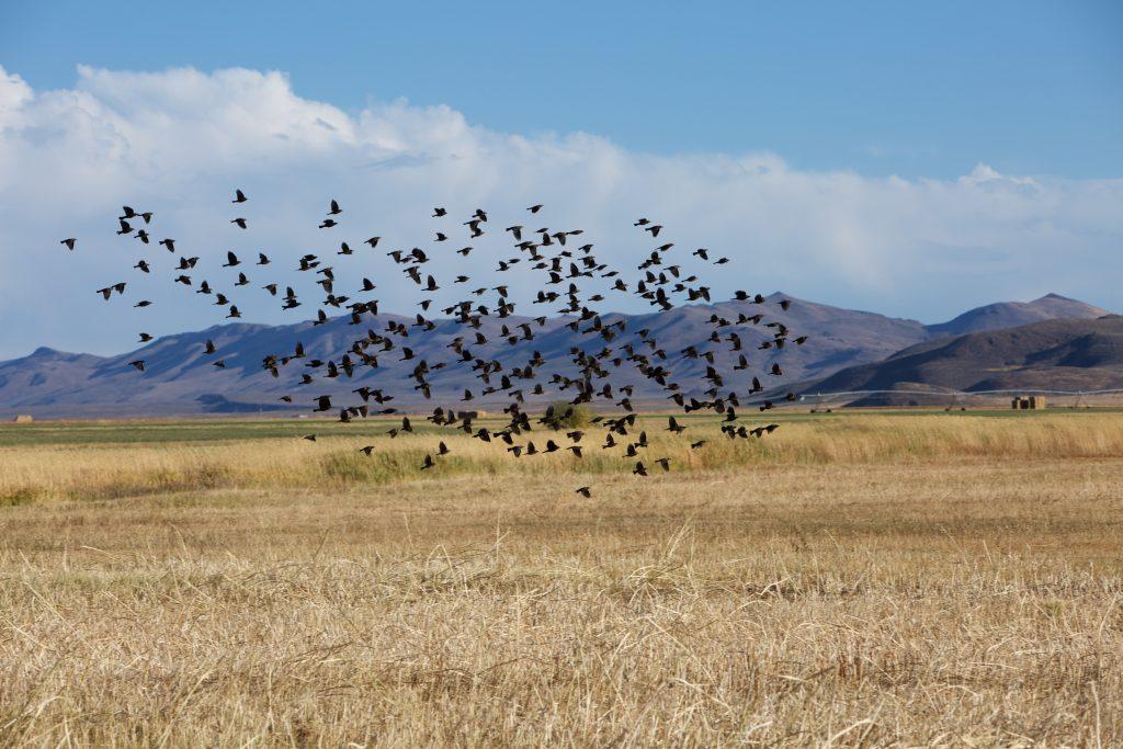 swarm of birds leaving field