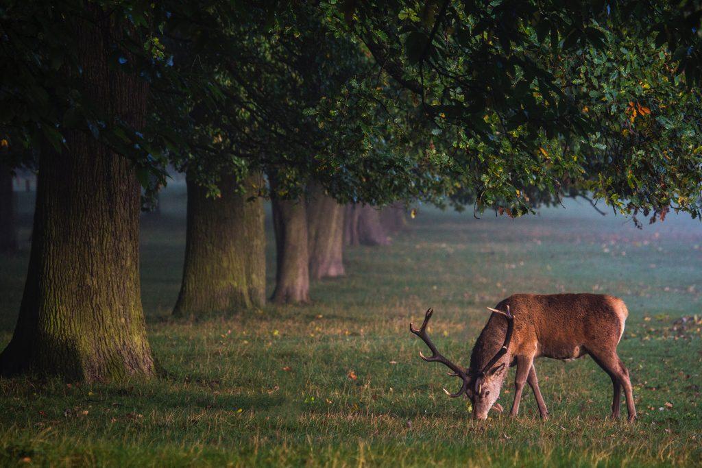 Buck under a tree