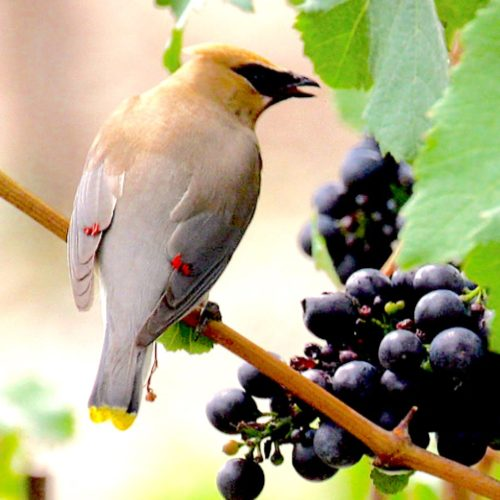 Cedar Waxwing in Grapes Isolation